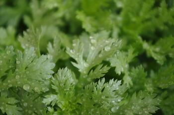 スーパーなどで春菊を買う際は、葉先まで色が濃くシャキッとしたものを選びましょう。特に、茎部分はやや細い方が柔らかくて美味しいです。また、大葉春菊は、葉が広いタイプの方が苦味や香りが穏やかですよ。