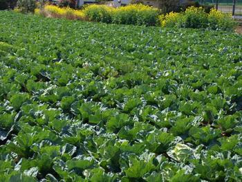 春キャベツの旬は3月~5月。 甘くておいしい春キャベツがスーパーにお目見えする日ももうすぐ。