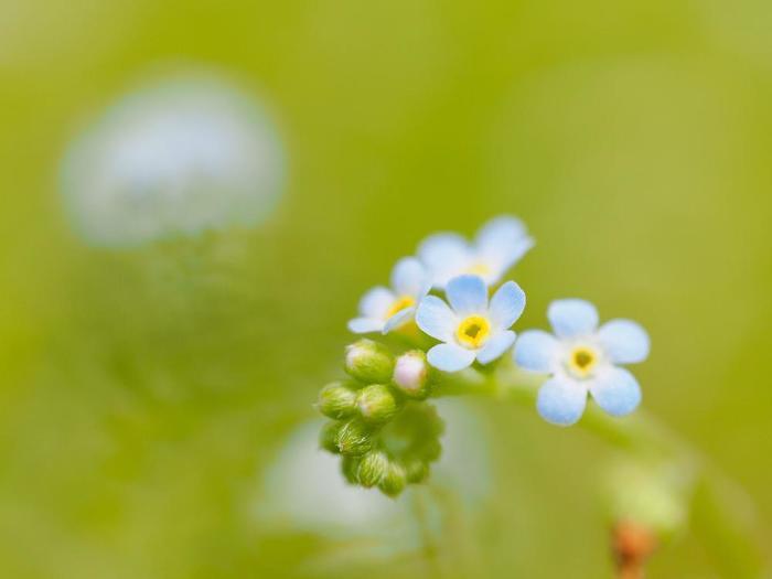 名前とは裏腹に勿忘草に似た淡青紫色の可憐な花を咲かせる胡瓜草。よく野原や道端に咲いているのですが、3mmほどしかない花なので、よーく目を凝らして探してみてくださいね。