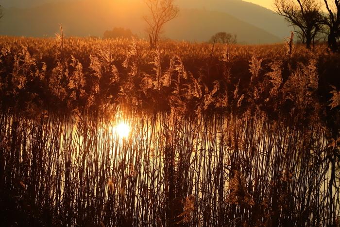 郷は、琵琶湖の東南部に位置する「西の湖」と通じています。西の湖で眺める朝陽の美しさは傑出しています。朝陽を浴びて黄金色に輝くヨシ、陽射しを浴びて輝く西の湖が織りなす景色は、この世のものとは神秘的で思わず息をすることさえも忘れるほどの美しさです。