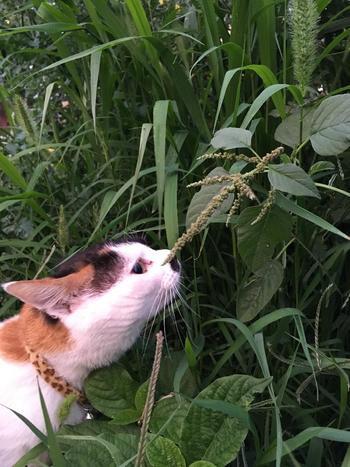 秋・冬になると、食用野草の種類が減ってきます。その中でおすすめなのが、秋にとれるイヌビユ(犬びゆ)です。食感が柔らかく、アクやクセもないのでとても食べやすいです。天ぷらにして食べると美味しくいただけます。