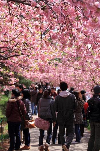 毎年2月上旬から3月上旬まで開かれる「河津桜まつり」。 2018年は【2月10日(土)~ 3月10日(土)】まで開催されます。都心からは車でも電車でも約3時間かかるので、スケジュールには余裕を持ってお出かけくださいね。
