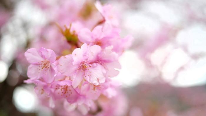 河津桜(カワヅザクラ)は、河津町で毎年2月上旬頃から咲き始め3月上旬まで楽しめる早咲きの桜のこと。花が大きく、ハッキリとした濃いピンク色が特徴です。
