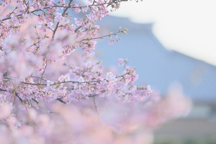 まだ寒い真冬の2月から咲く河津桜は、早咲きの品種である「カンヒザクラ」系と「オオシマザクラ」系の自然交配と考えられているようです。