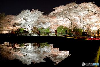 3月25日(日)~4月8日(日)の期間は、園内の桜がライトアップされます。 大きな池への映り込みが美しいですね。  時間は日没から21時まで、入園は午後8時までとなっています。