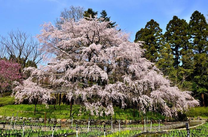 「北山大橋」が見えたら「北山通」を右折します。「京都府立植物園」の「賀茂川門」から入場すると、広大な敷地のあちこちで花ひらく桜を楽しみながら散策できます。