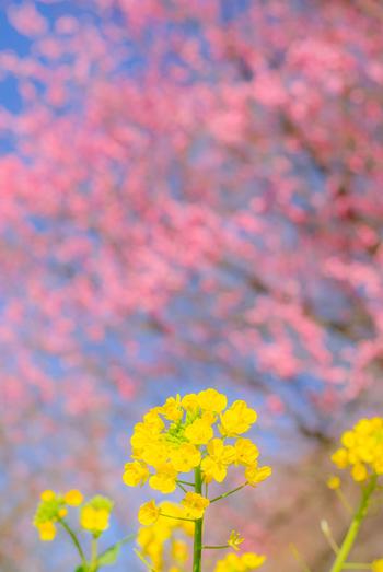 毎年「七折梅園」で行われる『七折梅まつり』では、1万を超える梅が咲き誇ります。(平成31年は2月20日~3月10日のため、開催済み)  白・ピンク・濃ピンク、黄色など色とりどりの梅を愛でることができます。菜の花と梅を同時に楽しめることもありますよ。