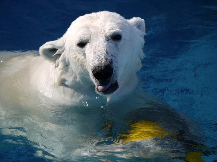 """こちらは、とべ動物園で1999年12月2日に生まれたホッキョクグマの""""ピース""""です。国内で生まれ順調に成長した数少ないホッキョクグマのうちの1頭で、とべ動物園の人気者!"""