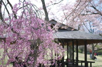 大室山麓に位置するさくらの里には、約4万平方の敷地に、約1500本の桜が植栽されています。
