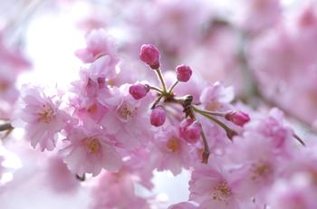 約40品種もの桜が植栽されているさくらの里では、毎年9月頃に十月桜が咲き始めます。その後、翌月の5月頃まで大室山を背景に、寒桜、大寒桜、伊東桜といった桜が次々と見頃を迎え、約8ヵ月間に渡って桜鑑賞を楽しむことができます。