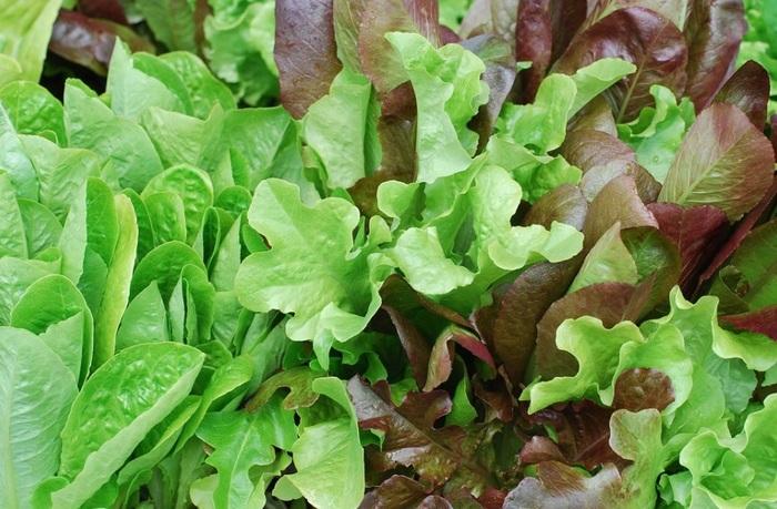 『ベビーリーフ』とは、ルッコラ・ビーツ・水菜・レッドオーク・ロメインレタス・ビーツ・チコリ・ケール…などなど、さまざまな葉物野菜の赤ちゃん葉っぱを指します。  柔らかな食感とくせのない風味はカフェごはんでおなじみですが、オシャレなだけではありません。成長途上の野菜だけに、下記のとおり、数多くの栄養素を蓄えています。↓↓