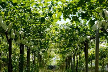ブドウ畑は、日本とヨーロッパで違うのをご存知ですか?こちらは日本式の棚仕立てによるブドウ畑です。ヨーロッパ式の垣根仕立てによるブドウ畑もあり、違いを実際に見られるのは貴重な体験ですね。ブドウが大きく実る秋が見頃ですが、春はブドウの涙(枝の切り口から滴る樹液)や、6月頃にはブドウの花などが見られますよ。