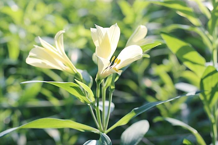 【連載】『霽れと褻』代表・田中さんに教わる 「花ごよみ」vol.8-アルストロメリア