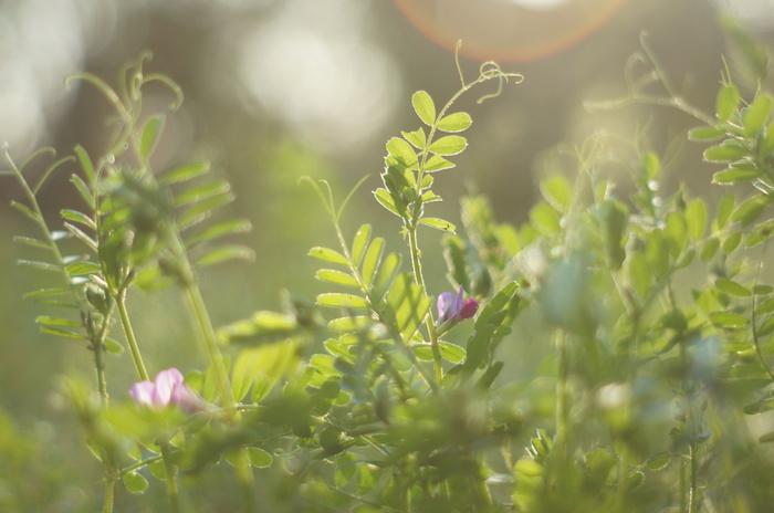 別名「ヤハズエンドウ」とも呼ばれる、スリランカ原産のマメ科ソラマメ属の植物。花の大きさは1~2cmほどと比較的大きく、紫がかったピンク色で見た目にもとても華やか。