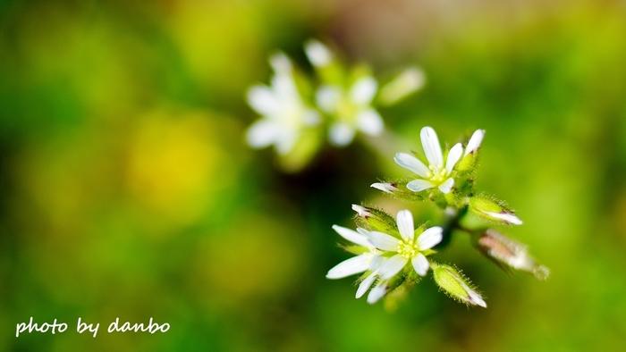 オランダミミナグサもオオイヌノフグリと同じくヨーロッパ原産の帰化植物です。道端や畑、荒れ地に自生し、白く可愛い花を咲かせます。