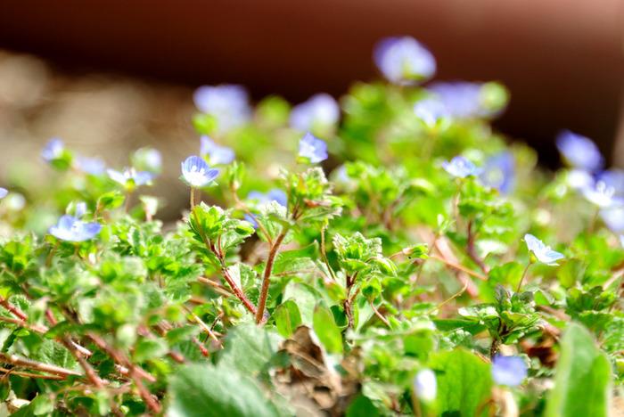 早春に青い花を咲かせるヨーロッパ原産の帰化植物。7~10mm程度の小さな花ですが、別名「瑠璃唐草」「天人唐草」「星の瞳」の通り、畑の畦道や道端で咲き誇っている光景はとても美しく見応えがあります。