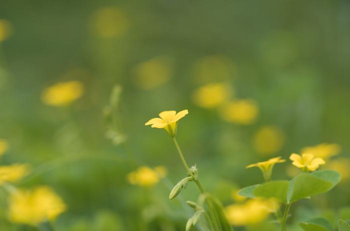 道端や庭、畑などに広く自生しているので、見たことがないという人は恐らくいないのでは。クローバーのようなハート形の3枚葉に黄色の可愛らしい花を咲かせます。