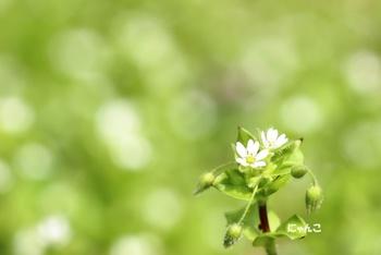 春の七草の1つで、田畑や畦道、道端、荒れ地などに広く自生しています。4~6mmの小さく白い清楚な花をたくさん咲かせます。別名「ひよこ草」「すずめ草」とも言われ、小鳥の大好物です。
