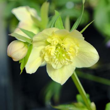 冬、もしくは早春の時期に花開く華やかなクリスマスローズ。色だけでなく、八重咲きのものがあったりとバリエーションが豊富。庭植えにも鉢植えにも向いた育てやすい花です。