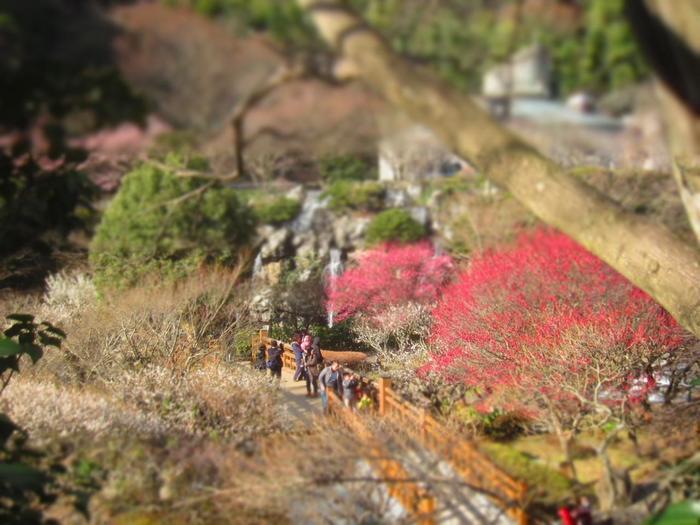 【画像は、2月中旬頃の「熱海梅園」。自然豊かな当園は、梅だけでなく紅葉の名所としても知られています。】