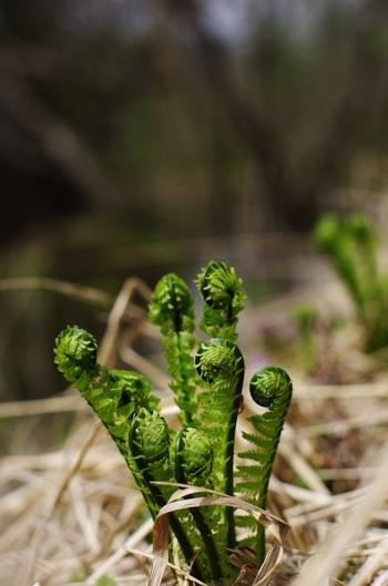 こごみもシダ植物の仲間。「クサソテツ」の新芽部分が食用となります。わらびと違ってアクが少なく、サッと塩ゆでする程度で食べられます。少しぬめりのある食感が特徴。