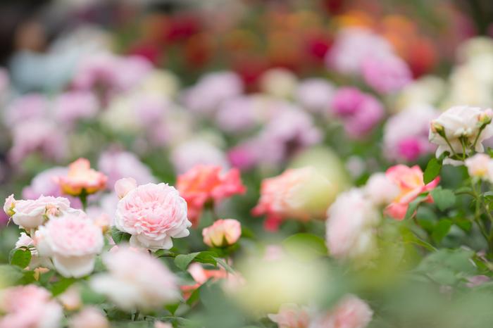 2018年5月5日から行われる「春のバラフェスティバル」では、約100種199株のバラを楽しめる事ができます。競うように次々と花を咲かし、人々の目を楽しませてくれます。