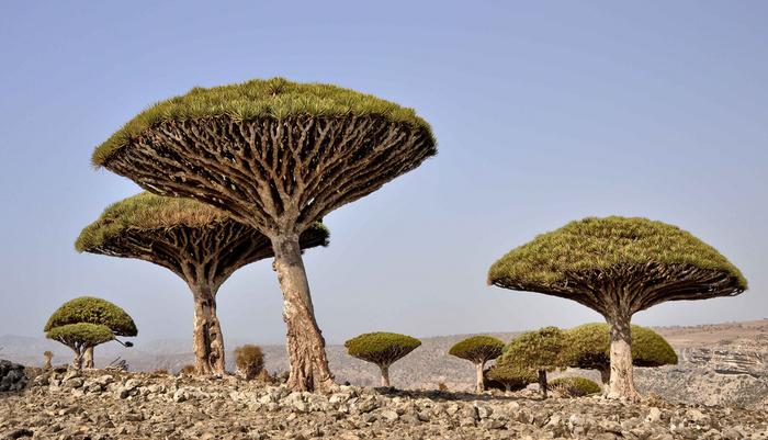 独特の形をした竜血樹が群生しているソコトラ島は、その独特の景観から、訪れる人々に忘れることができない強烈な印象を与えています。