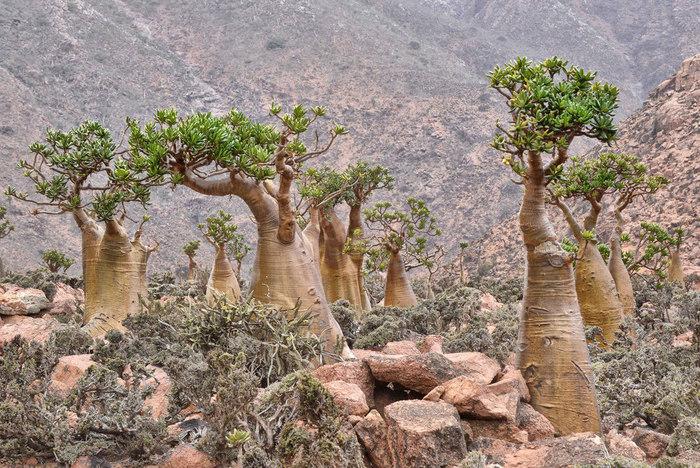 ソコトラ島でしか生息していない固有の動植物が数多くみられるこの地は、「インド洋のガラパゴス」とも呼ばれています。