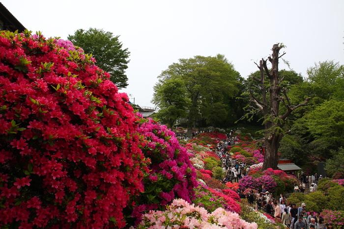 根津神社は、東京都内でも屈指のつつじの名所として知られています。境内のつつじ苑には約100品種3000株のつつじが植栽されています。