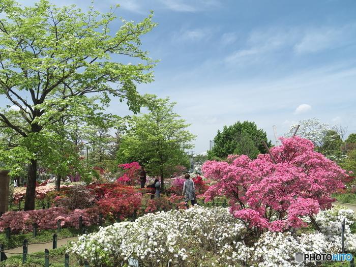 東京都練馬区の平成つつじ公園は、久留米つつじを中心に約10000株のつつじが植栽されています。つつじ見頃を迎えた満開のつつじは、緑あふれる公園の魅力をつつじ引き立てています。