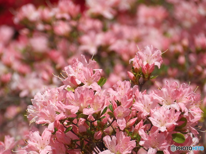 平成つつじ公園に植栽されているつつじは、約600品種です。そのため、つつじの開花時期が長いうえに、様々な種類のつつじ観賞を楽しむことができます。