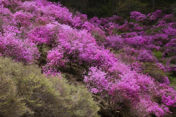 濃ピンク色をしたミツバツツジが満開に咲き誇り山肌を覆う様は圧巻です。