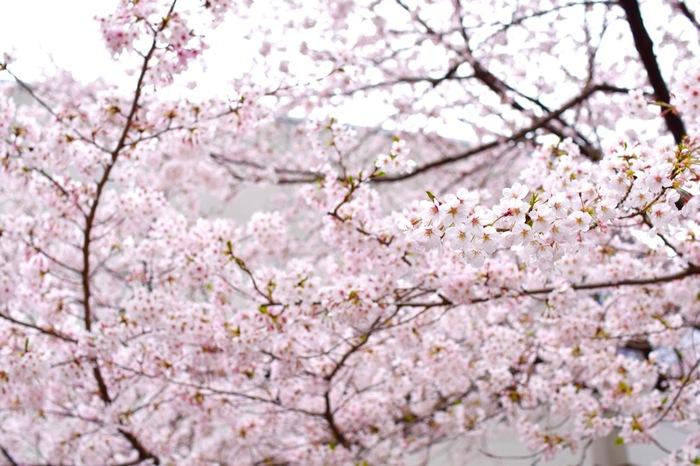 JR京浜東北線 王子駅から徒歩約5分。徳川吉宗が享保の改革の一環として造成を行ったといわれる飛鳥山公園の中に、「青淵文庫」はあります。飛鳥山は、江戸っ子には花見の場所が寛永寺しかないということを聞いた吉宗が作った、花見の名所ということで、季節になるとソメイヨシノ、サトザクラなど約600本の桜や、約15000株のツツジが咲き乱れます。