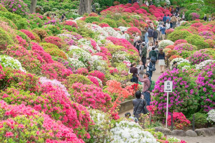 つつじが見頃を迎える時期になると、根津神社では「文京つつじまつり」が開催され、大勢の参拝者で賑わいます。