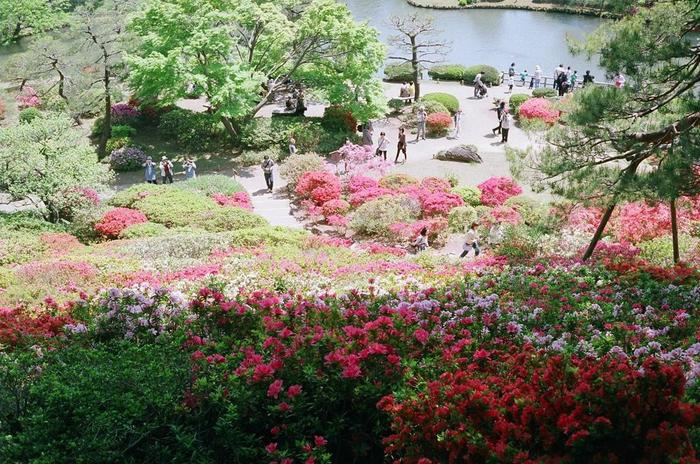 なだらかな起伏がある六義園では、つつじの群生地を高台から眺めることができます。満開に咲き誇る色とりどりのつつじが、晩春の六義園に彩りを与えています。