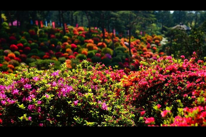 塩観音寺の花々の中でも、つつじは特に有名で、境内には約15種類17000本のつつじが植栽されています。