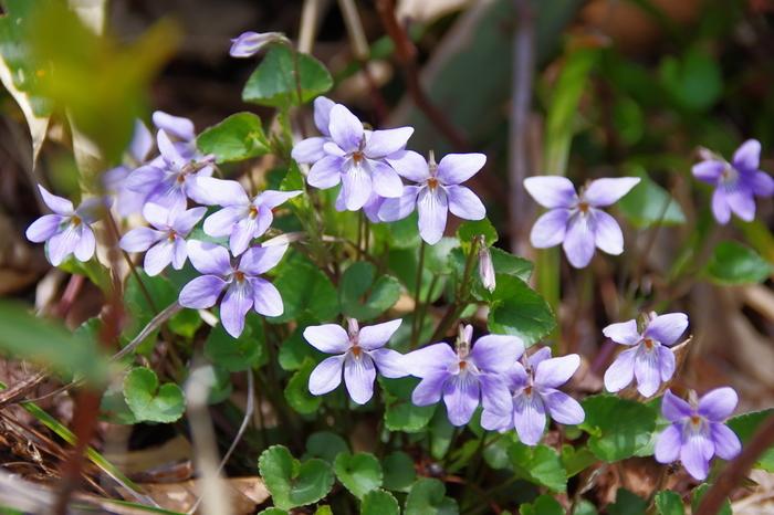 登山道や自然公園などでスミレの群生を見かけると、春の訪れを感じますよね。スミレは種類が多く、国内だけで50種類ほどがあると言われます。紫、白、斑入りや黄色など好みのものを選んで。