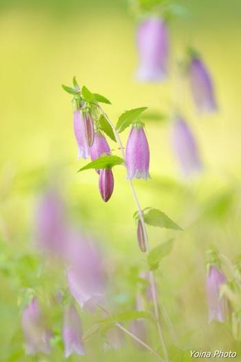 中にホタルの入ったちょうちんのように見えるホタルブクロ。とても丈夫な花で、あまり手をかけなくても大丈夫。初心者向きの花でもあります。