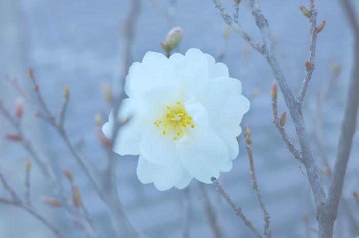 山野草というより庭木になりますが、凛と艶やかな椿は日本の美を感じさせる花。茶花としてよく用いられ、「冬椿」「寒椿」といった言葉は冬の季語としても定着しています。