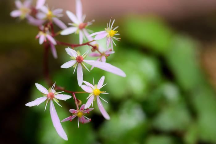 不均衡な花弁の形が「大」の字に見えるダイモンジソウ。こちらも品種のバリエーションが豊富です。