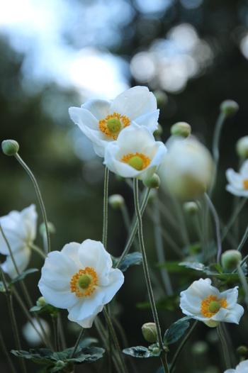 コスモスよりもぽってりと厚みのある花びらが愛らしい秋明菊(シュウメイギク)。背が高いので庭植えに向いています。咲き終わった後はふわふわの綿毛が見られますよ。