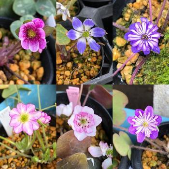 早春に花開く雪割草は、園芸種としてさまざまな品種が開発されています。どれもかわいくて目移りしちゃいそう!
