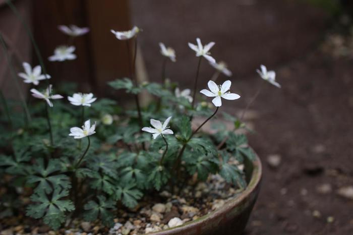 春の野山に芽吹く花「スプリング・エフェメラル」のひとつでもあるイチリンソウ。地下茎で増える多年草なので、少しずつ株を育てて大きくする楽しみも。