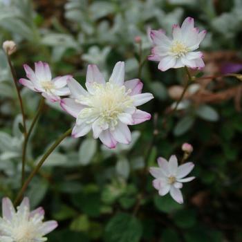 山野草の多くは、冬は土の中で休眠し、春にまた芽を出す多年草。マメなお世話が苦手という人も、あまり無理せずにつきあっていけそうなお花なのです。こちらは八重咲きの花弁がかわいいバイカカラマツソウ。