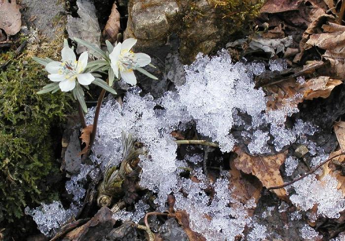 たとえば、節分草や福寿草、フキノトウなどの早春の花々は、まだ雪解けも終わらないうちから花を咲かせます。冬の管理にはあまり神経質にならなくても大丈夫。