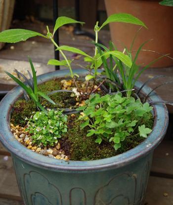 株が小さな山野草は寄せ植えにも最適。葉の形や高さの違うものを合わせて植えると立体感のある鉢になります。