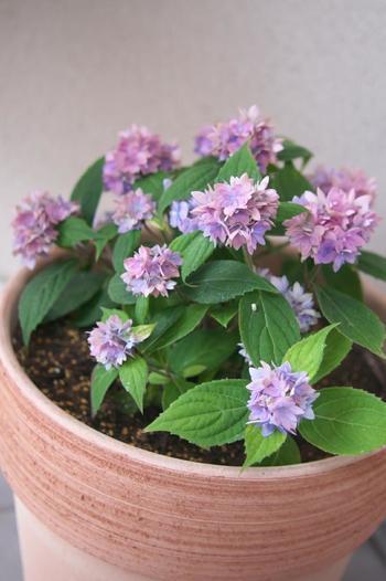 洋種のアジサイに比べて小さな樹形が特徴のヤマアジサイ。鉢植えならベランダや玄関先、小さな庭でも負担なく育てられます。花びらの形も繊細で美しく、いろいろな種類があります。