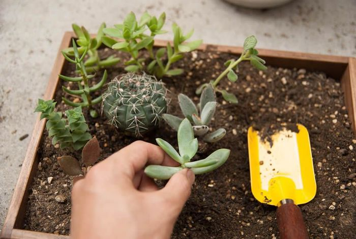 育てる事に慣れてきたら、やってみたくなるのが大きめの箱庭作り!育ってきた多肉植物を使うも良し、新たな多肉植物を追加してもOK。大体の配置を決めてから、植物を植え込んでいきます。思いつくままにのびのびと作業するこのひとときも、箱庭づくりの醍醐味ですね。最後にお好みのミニチュアオブジェなどを配置していきます。オブジェは箱庭の世界観をぐっと盛り上げてくれる重要アイテム。「どこに置いたら可愛いかな?」と考えながら、童心に返ったかのように作業に没頭してしまいそう。