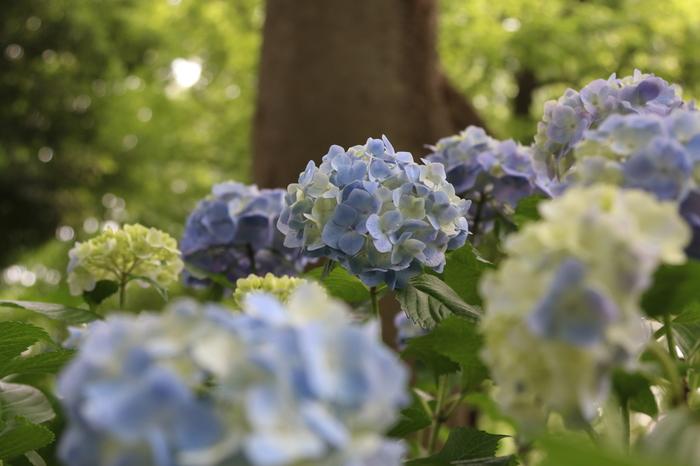 アジサイが見頃を迎える5月下旬から6下旬にかけて、「としまえん あじさい祭り」が開催され、大勢の花見客で賑わいます。