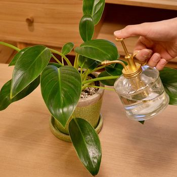 基本の水やりは、鉢の中の空気も循環されるよう、鉢底から水が流れ出てくるくらい、たっぷりとあげます。この時、受け皿に貯まった水は必ず捨ててくださいね。冬場などは葉が乾燥しやすいので、冷たすぎない温度の水で葉水を行いましょう。こうする事で、生き生きとした葉を保ち、害虫予防対策にもなります。